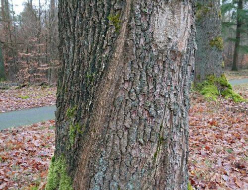 Torsionsrisse an Baumstämmen